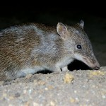 Southern Brown Bandicoot Sub-regional Surveys and Strategies for DSE, Victoria 2010-11